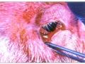 Kongestija konjunktiva očiju