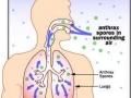 Ulazak spora bedrenice udisanjem u pluća