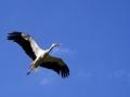 Bijela roda u letu