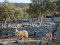 ovce na Cresu