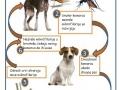 Životni ciklus srčanog crva