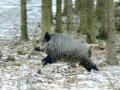 Divlja svinja u trku