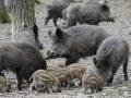 Divlje svinje na hranilištu Jaroslav Vogeltanc