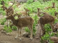Spotted_deer_or_Axis_Axis_from_Nehru_Zoological_park_Hyderabad_4216