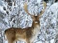 Fallow-Deer-Dama-Dama-230887