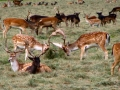 fallow_deer_1