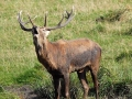 jelen-lesni--cervus-elaphus[1]