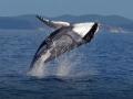 japan-kitovi-3