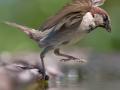 Kućni vrabac na vodi