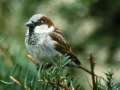 Vrabac mužjak na smreki
