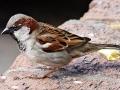 vrabac mužjak