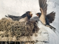 lastavica-pokućarka-2632