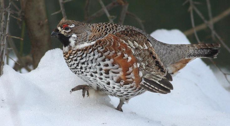 Lještarka pjevac zimi
