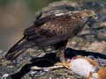 hieraaetus-fasciatus