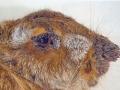 Papilomatoza divljeg zeca