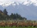 11. Farmski uzgoj jelena