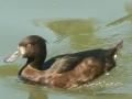 Ženka patke krunate na vodi