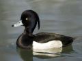 Mužjak patke krunate sa kukmicom na glavi