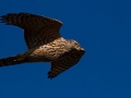 Mladi jastreb u letu