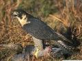 Sivi sokol (peregrine falcon)
