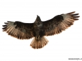 buteo_buteo_common_buzzard_001