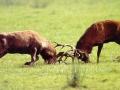 borba-jelena