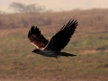 26-4_hieraaetus_fasciatus_bonellis_eagle_chambal_river_india_9_dec_2010_ps