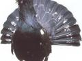 izgleg repa teterijeba gluhana