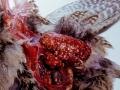 Tuberkuloza pernate divljači