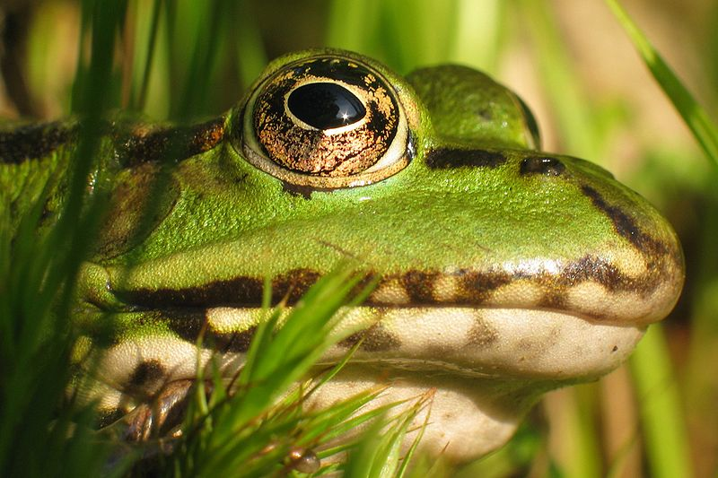 Waterfrog glava