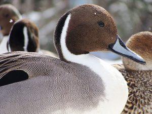 mužjak patke lastarke