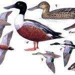 patka-zlicarka-plakat