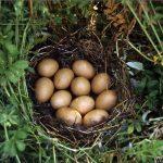 Gnijezdi patke žličarke