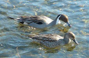 patka lastarka (anas acuta)