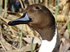 Glava mužjaka patke lastarke