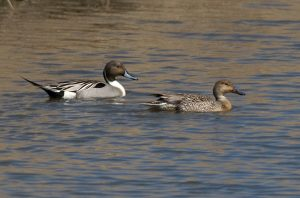 patka lastarka-muzjak i ženka