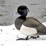 patka-krunata