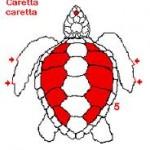 Caretta caretta