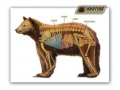 Bear Anatomy.thumb