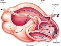 složeni želudac1