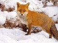 Lisica izvor bjesnoće
