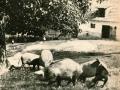 Bjesni-pas-napada-svinje