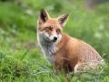 Lisica rezervoar bjesnoce
