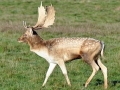 DeerFallow_photo_PThompson