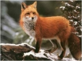 winter_red_fox_wallpaper-normal