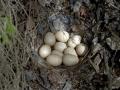 Jaja lještarke