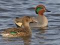 Patka kržulja mužjak i ženka na vodi
