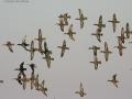 Patke kržulje u letu