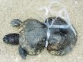 Plastični prsten oko oklopa kornjače