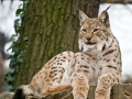 Ris Lynx lynx